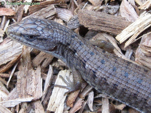 an Alligator lizard