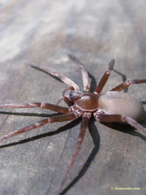 Titiotus sp.