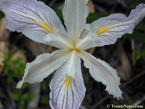 Purdy's iris (Iris purdyi)