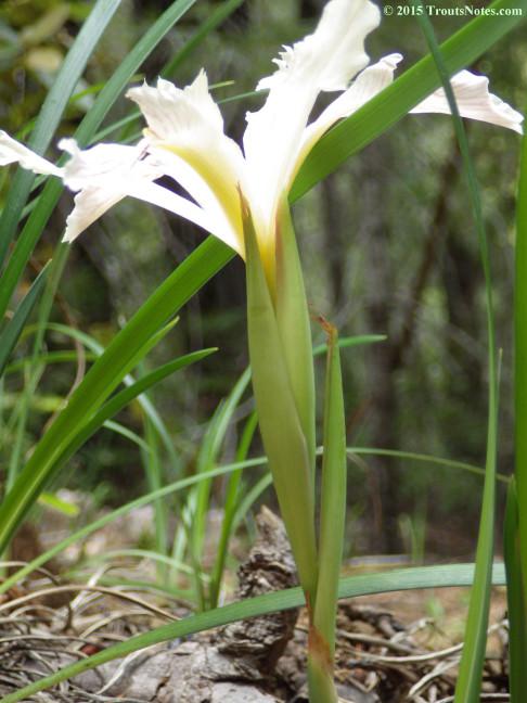 Iris purdyi