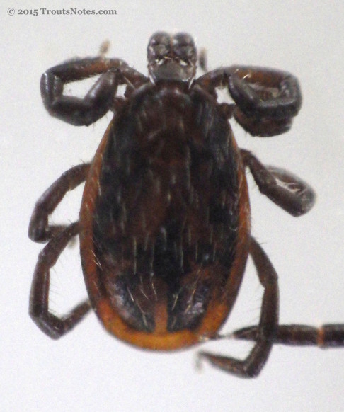 Adult male Ixodes pacificus