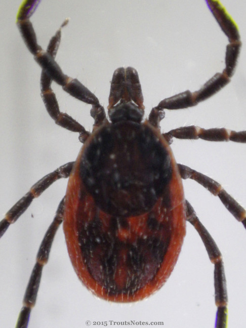 Ixodes pacificus adult female