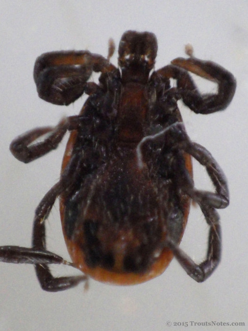 Ixodes pacificus adult male
