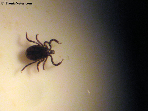 a male Ixodes pacificus, the black-legged tick