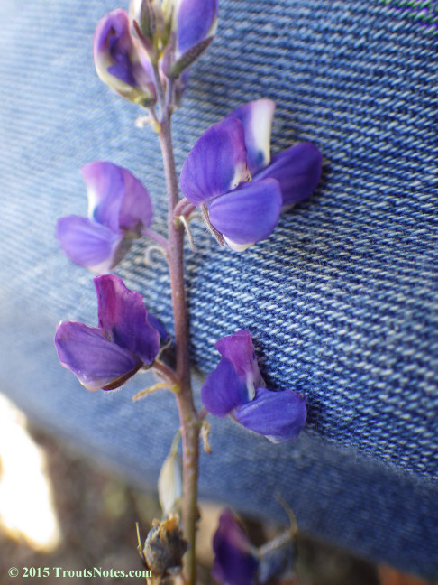 Lupine 23 May 2015