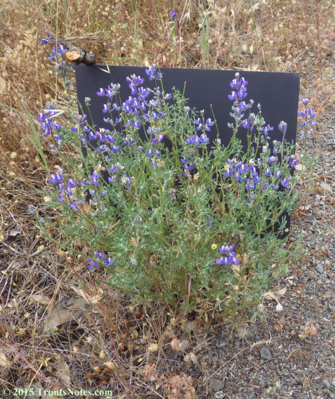 Lupinus bicolor 26 May 2015