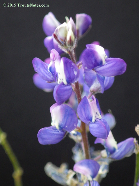 Lupine 26 May 2015