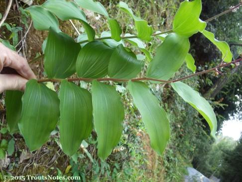 Maianthemum racemosum ssp. racemosum 15May2015