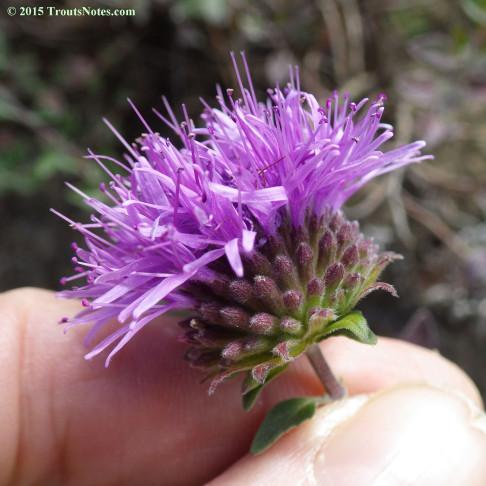 Monardella purpurea