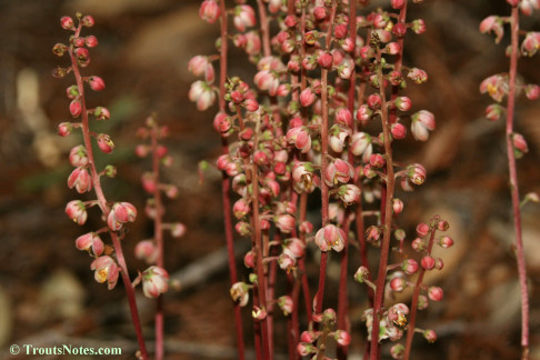 Pyrola asarifolia ssp. bracteata; Pink wintergreen