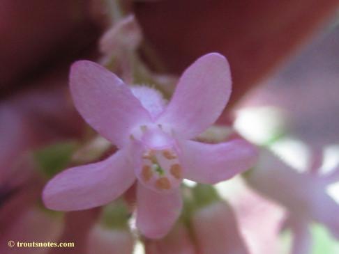 Ribes sanguineum var. glutinosum 21march2015