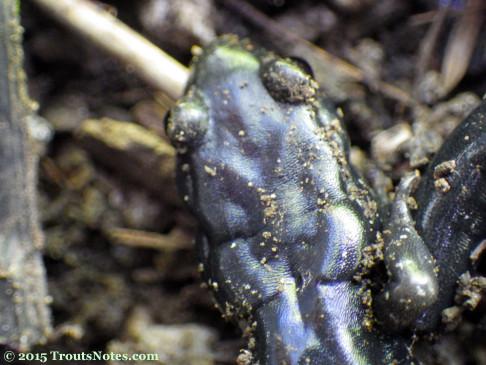 Speckled black salamander; Aneides flavipunctatus flavipunctatus