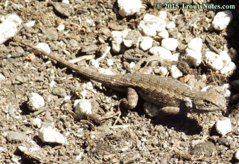 Sceloporus occidentalis; Western fence lizard