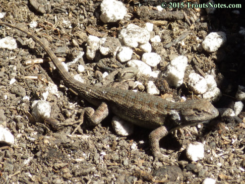Sceloporus occidentalis; Western fence lizard