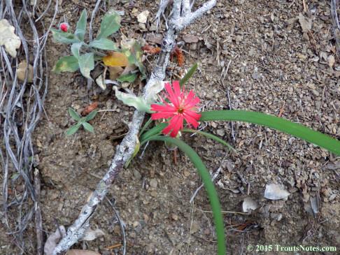 Silene laciniata ssp. californica IMGP4121