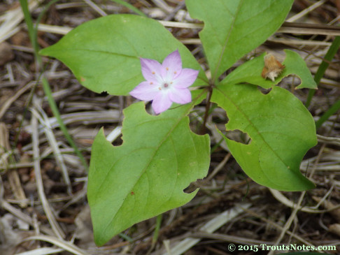 Trientalis latifolia 12may2015