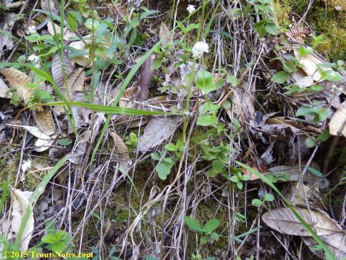 Whipplea modesta