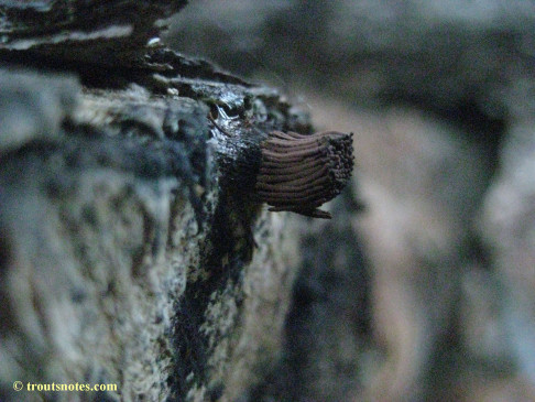 a chocolate-tube slime-mold