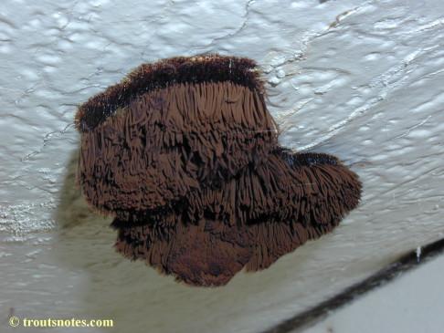a chocolate tube slime mold