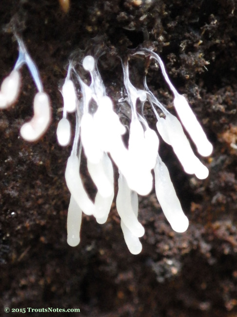 Yet another slime mold