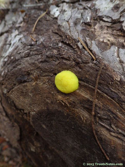 slime mold 13 may 2015