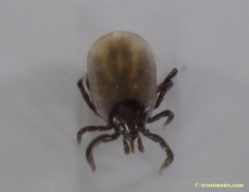 Ixodes pacificus nymph after a night of feeding
