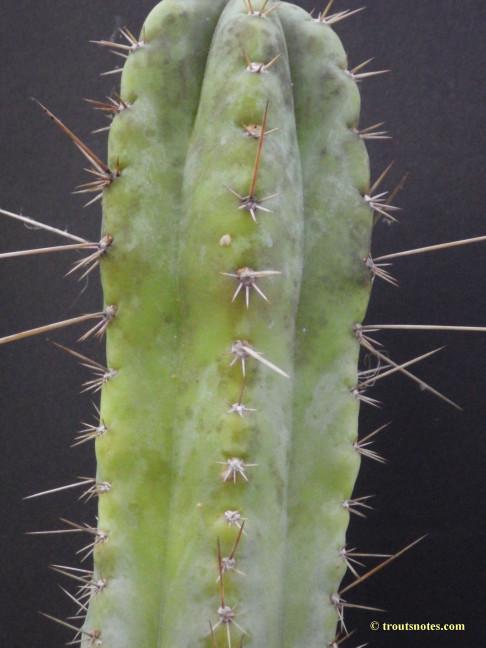 Trichocereus (GF) 2015