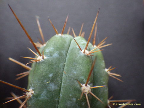 Trichocereus (GF) 2015 unrooted cutting
