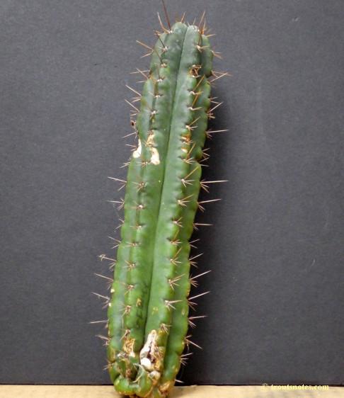 Trichocereus (GF) 2015 unrooted cutting