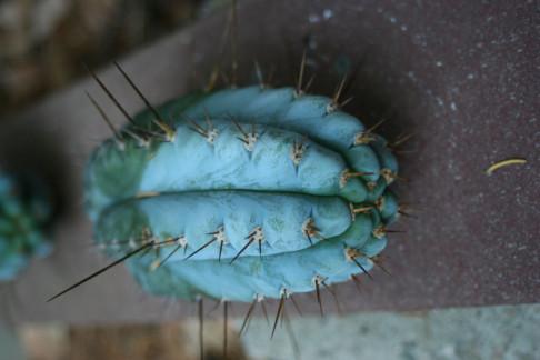 Trichocereus (GF) 2008