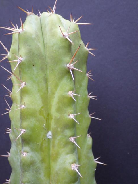 Trichocereus J-01