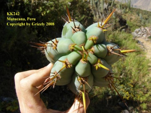 Trichocereus peruvianus photographed near Matucana by Grizzly