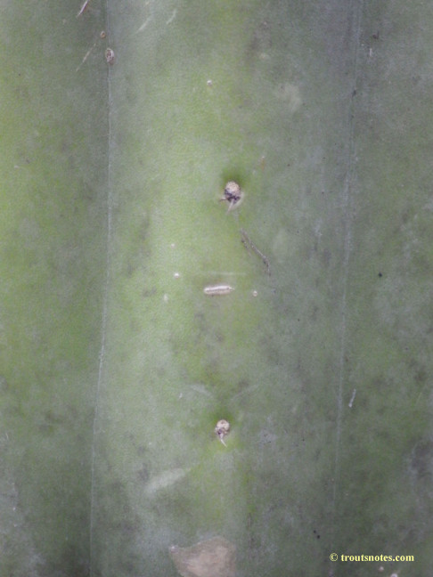 Trichocereus aff. huanucoensis