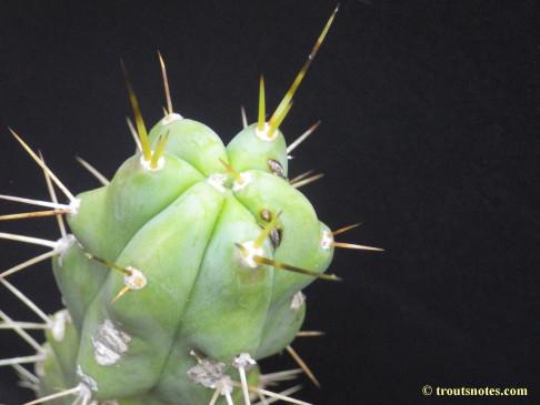 Trichocereus bridgesii (Lumberjack)