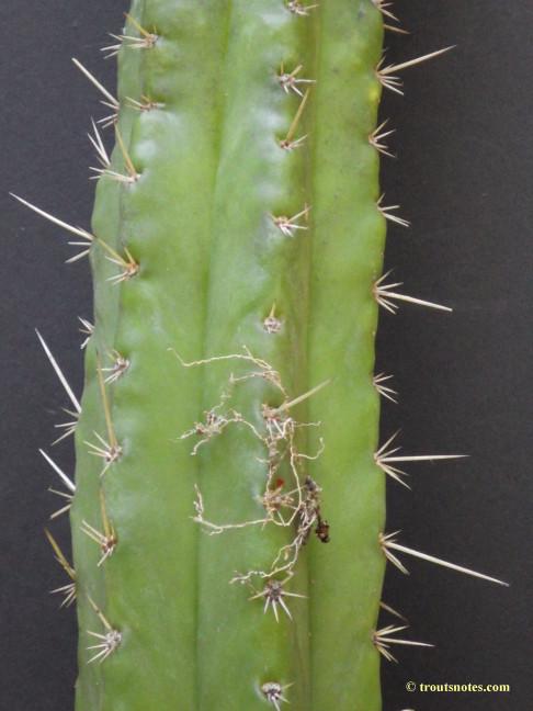 Trichocereus glaucus (sensu Knize)