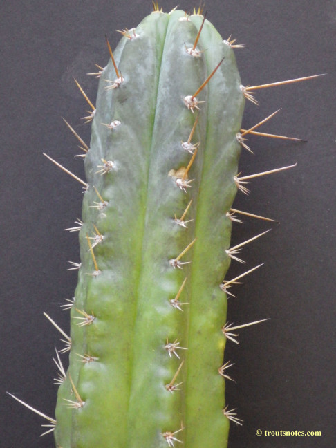Trichocereus-glaucus_Knize_via-Avi_July2015_IMGP6831