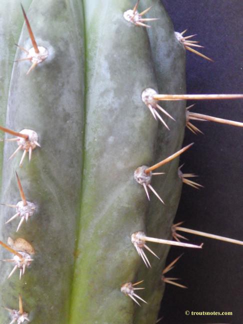 Trichocereus-glaucus_Knize_via-Avi_July2015_IMGP6834
