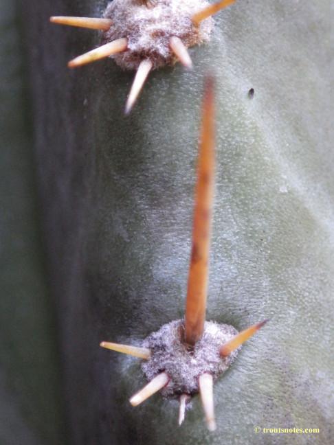 Trichocereus-glaucus_Knize_via-Avi_July2015_IMGP6846