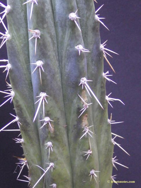 Trichocereus peruvianus on 24 July 2015