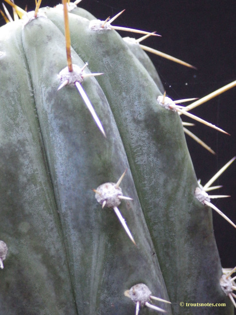 Trichocereus peruvianus on 24 July 2015