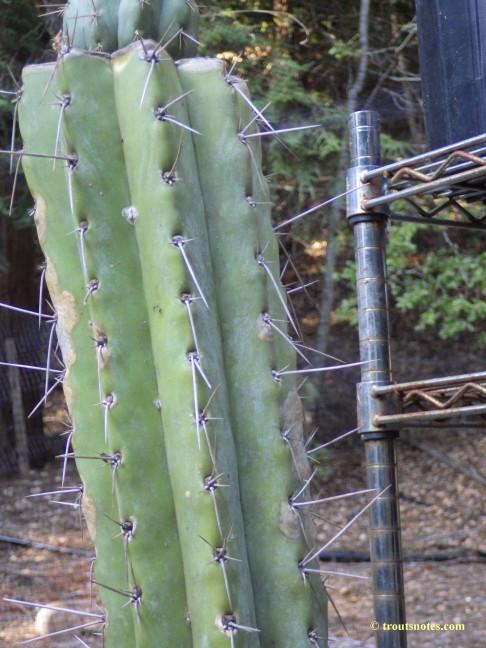 Trichocereus-peruvianus_Eltzner_17july2015_IMGP7073