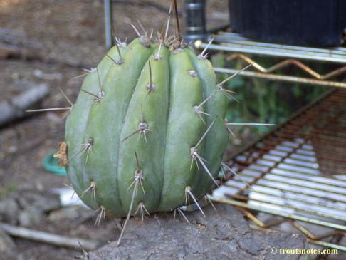 Trichocereus-peruvianus_Eltzner_17july2015_IMGP7076