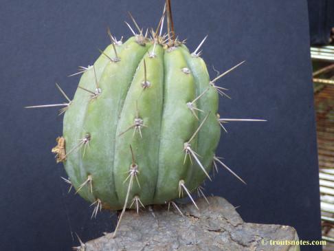 Trichocereus-peruvianus_Eltzner_17july2015_IMGP7077