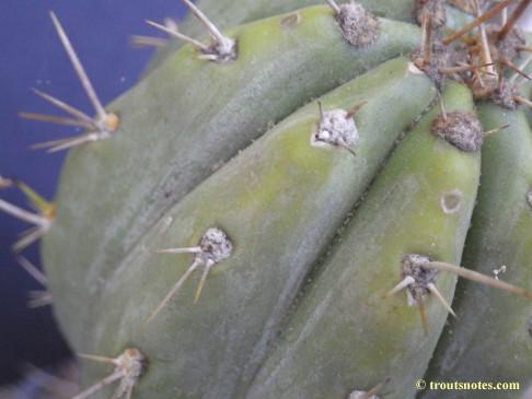 Trichocereus-peruvianus_Eltzner_17july2015_IMGP7080