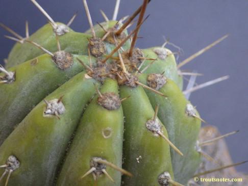 Trichocereus-peruvianus_Eltzner_17july2015_IMGP7082