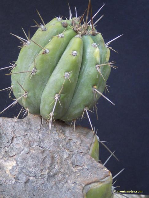 Trichocereus-peruvianus_Eltzner_17july2015_IMGP7083