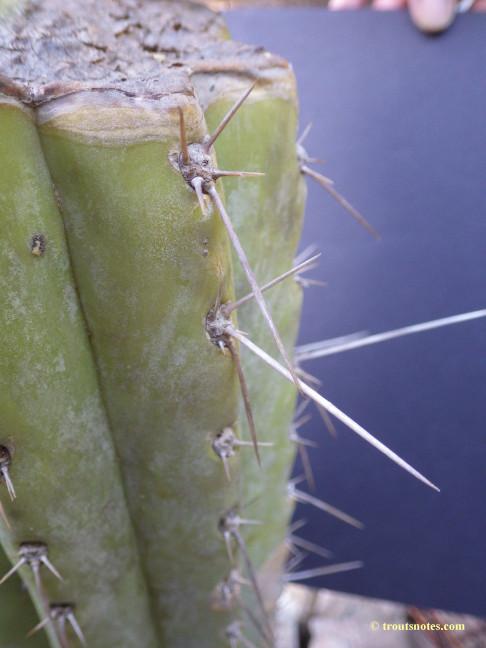 Trichocereus-peruvianus_Eltzner_17july2015_IMGP7084