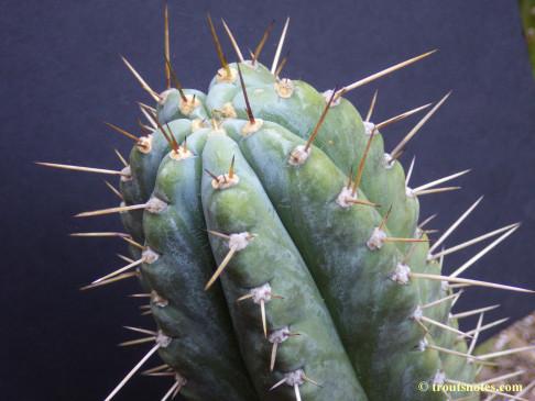 Trichocereus peruvianus (GF)