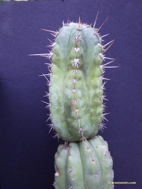 a San Pedro from Peru (02)