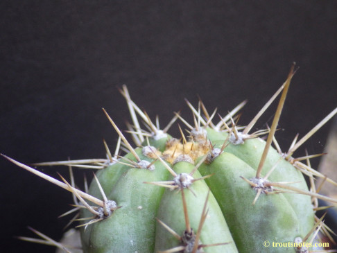 Trichocereus-peruvianus_from-Peru_03_23july2015_IMGP7427